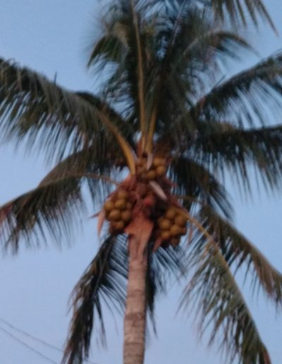southfloridacoconuts.com-coconut-palm-tree