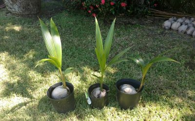 Purchase a Coconut Tree for the New Year!!