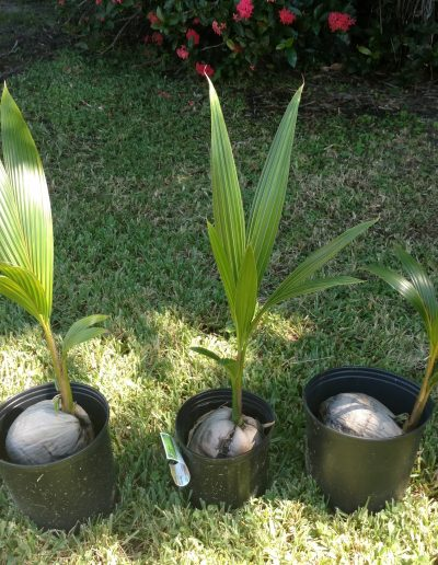 southfloridacoconuts.com-coconut-palm-young-trees