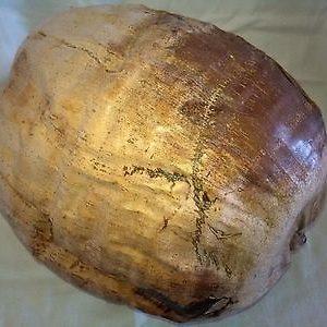 southfloridacoconuts.com Coconut Seed