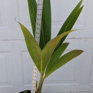 southfloridacoconuts.com coconut tree 25 - 36 inches