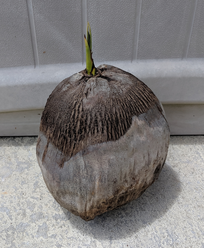 southfloridacoconuts.com coconut tree sprout