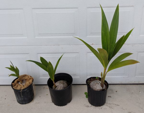 southfloridacoconuts.com coconut trees all sizes