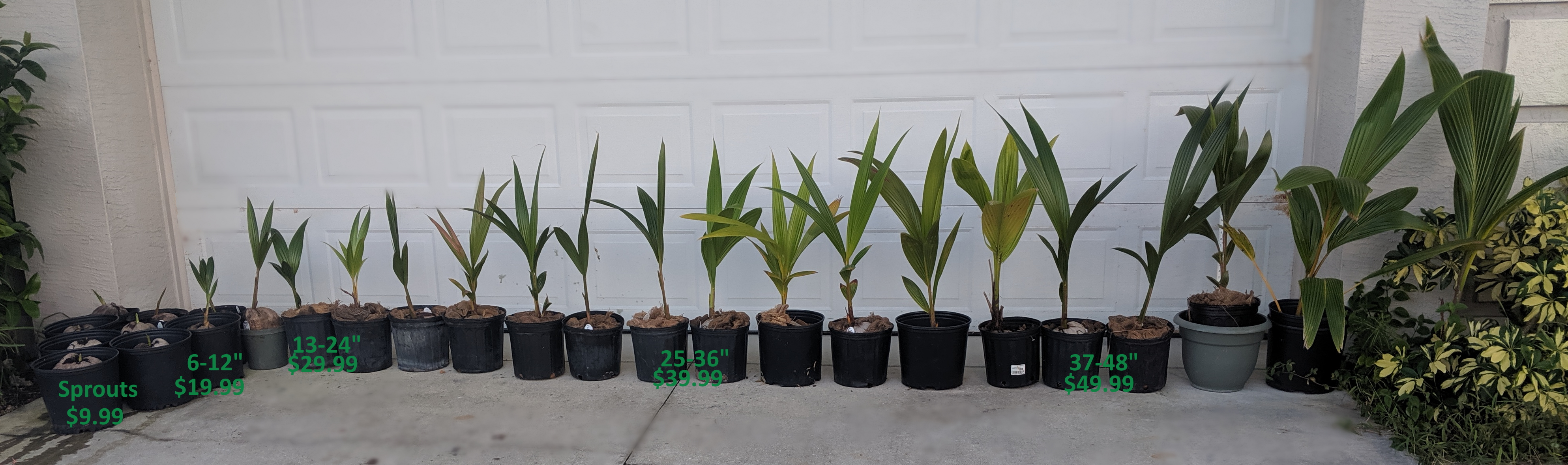 southfloridacoconuts.com coconut trees all sizes spouted - 48 inches with measurements prices